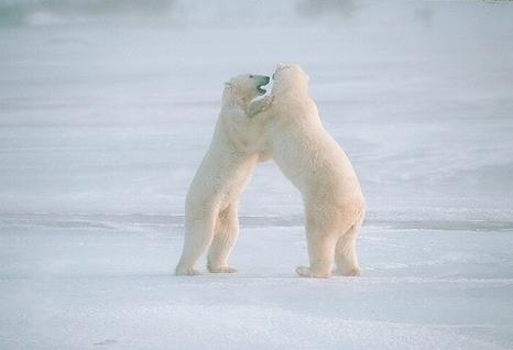Viaggi dei sogni, orsi bianchi
