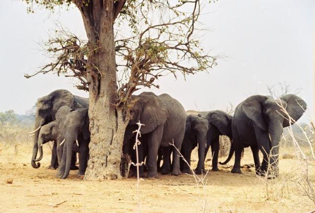 Viaggio in Botswana, elefanti attorno all albero