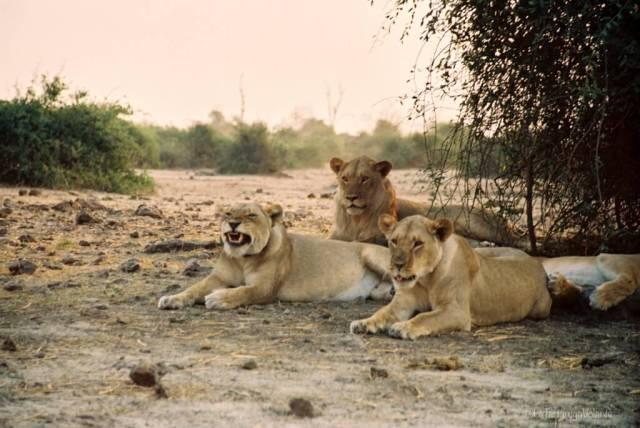 Viaggio in Botswana, leoni al tramonto