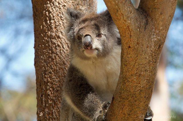 Koala attivo