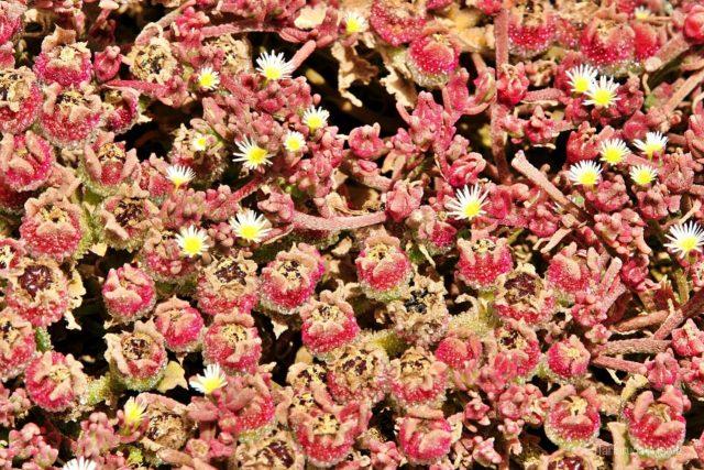 Lanzarote, fiori succulenti