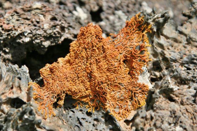 Lanzarote, funghi arancioni