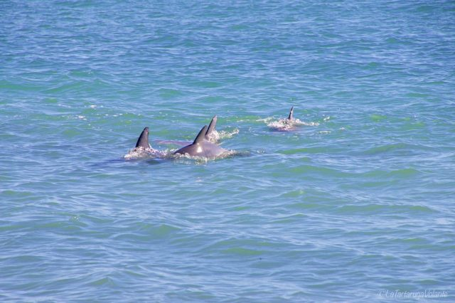 Delfini a Rockingham