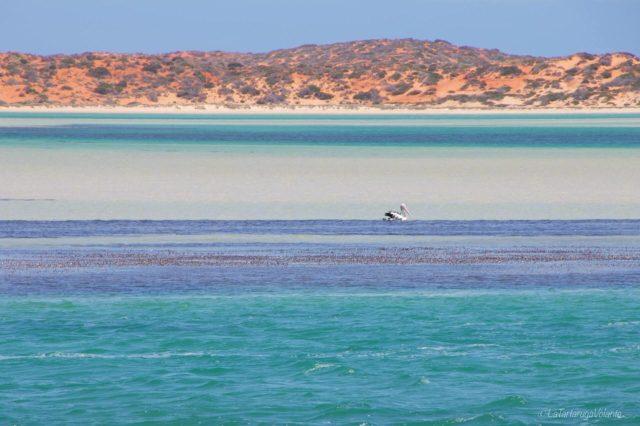 blue lagoon e pellicano