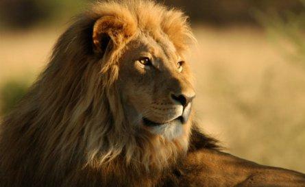 lion_650x400_61445927148