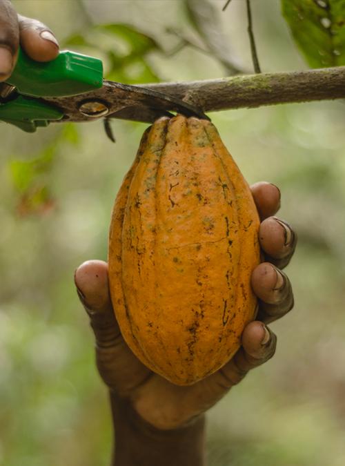 Mazorca de cacao criollo