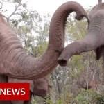 Elephants flee to outlive coronavirus hunger – BBC Information