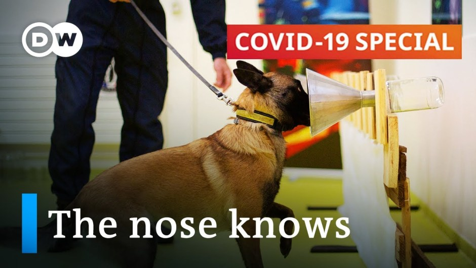 Utilizing canine to smell out the coronavirus | COVID-19 Particular