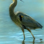 """Afternoon Wading - Great Blue Heron, 5"""" x 7"""", watercolor on board, ©Rebecca Latham"""