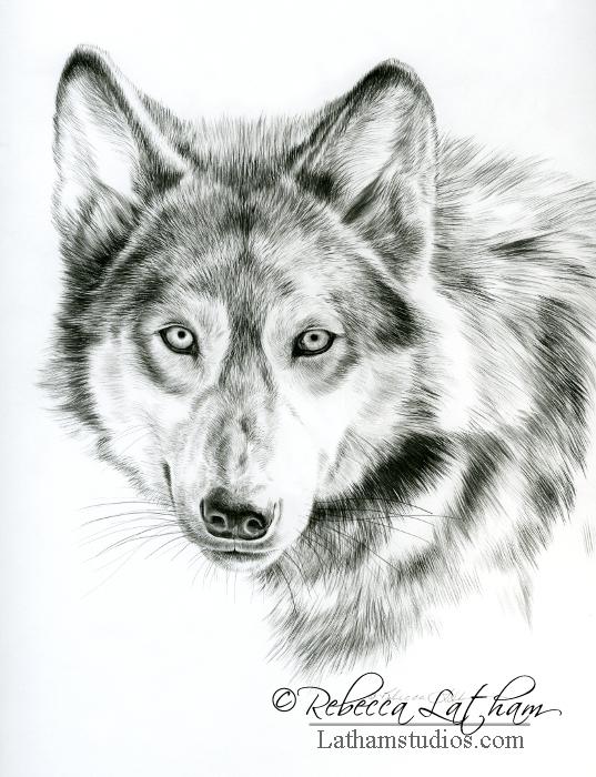 Piercing Gaze - Wolf, 8.5in x 11in, Graphite on board, ©Rebecca Latham