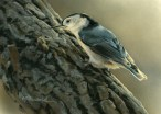 """Tree Investigation - Nuthatch, 5"""" x 7"""", watercolor on board, ©Rebecca Latham - The Snowgoose Gallery The Art of the Miniature XXIII"""