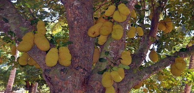 """Die """"Jaca"""" kann frisch vom Baum oder als Sirup, als Kompott oder in kristallisierter Form verkonsumiert werden"""