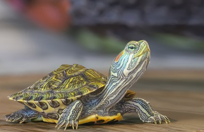 Image result for turtle as a pet
