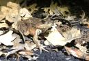 Ranas de patas rojas de California amenazadas vuelven a reproducirse / California Red-Legged Frogs are breeding again