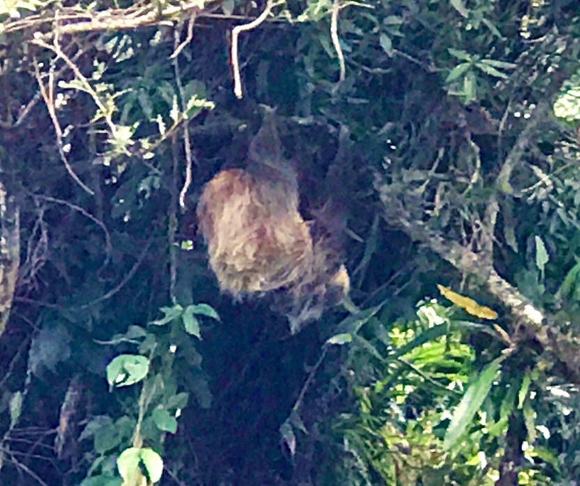 Sloth-on-Boquete-Pianista-Trail Boquete's Sendero El Pianista (The Pianist Trail) Hiking in Panama Pets The Great Outdoors