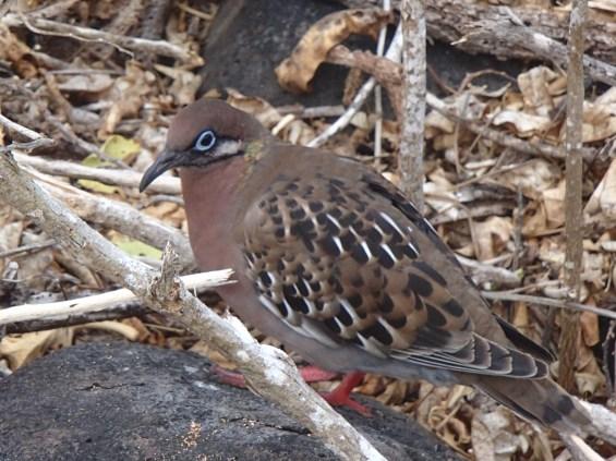 Galapagos-Dove The Galapagos Islands - Birder Heaven Ecuador Galapagos Birds Galapagos Islands