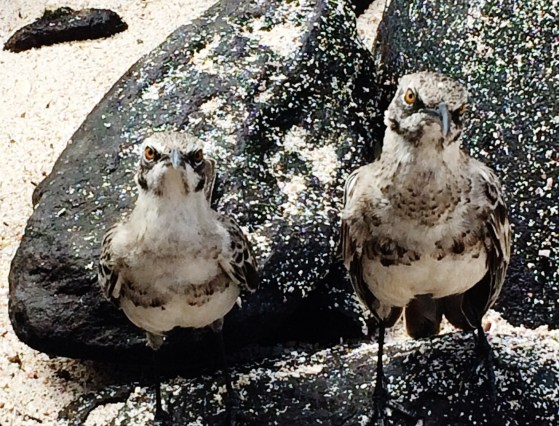 Mockingbirds The Galapagos Islands - Birder Heaven Ecuador Galapagos Birds Galapagos Islands