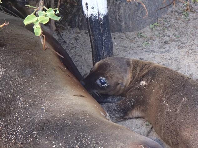Sea-Lion-Nursing-Pup-II The Galapagos Islands - Pinniped Paradise! Ecuador Galapagos Islands Panama