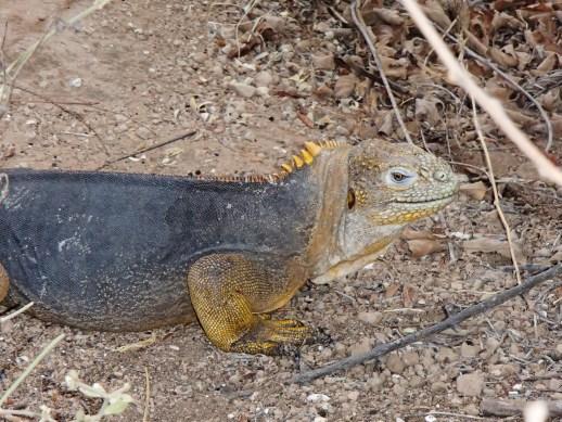 Galapagos-Land-Iguana-Dragon-Hill-2 One More Galapagos Post: A Reptilian View Ecuador Galapagos Birds
