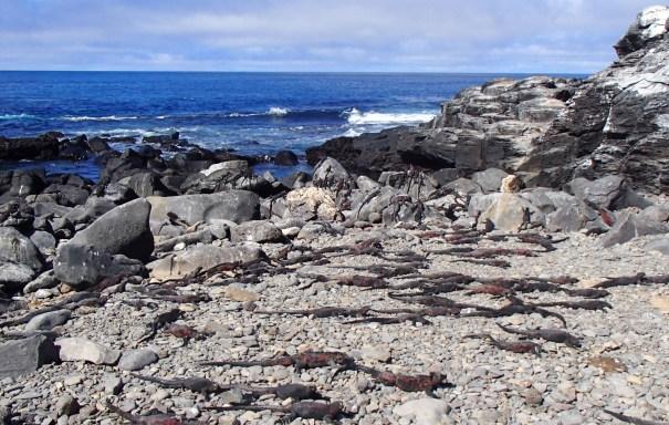 Galapagos-Marine-Iguanas-Floreana One More Galapagos Post: A Reptilian View Ecuador Galapagos Birds Galapagos Islands