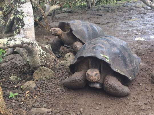 Galapagos-Tortoises-Pair One More Galapagos Post: A Reptilian View Ecuador Galapagos Birds Galapagos Islands