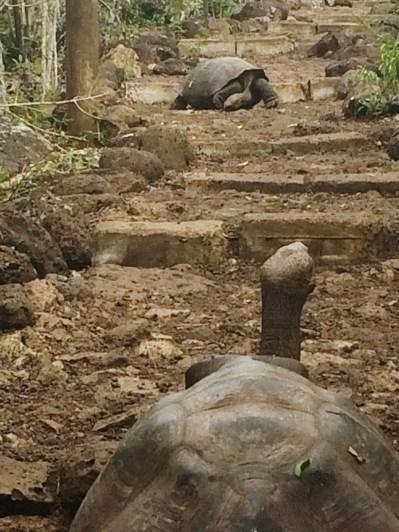 Galapagos-Tortoises-on-the-Path One More Galapagos Post: A Reptilian View Ecuador Galapagos Birds