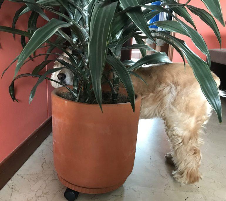 cocker spaniel under a plant in a COVID-19 world