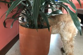 cocker spaniel under a plant in a COVID-19 world