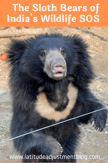 2020-Pinterest-Pins-1-683x1024 Guest Post: The Sloth Bears of India's Wildlife SOS India