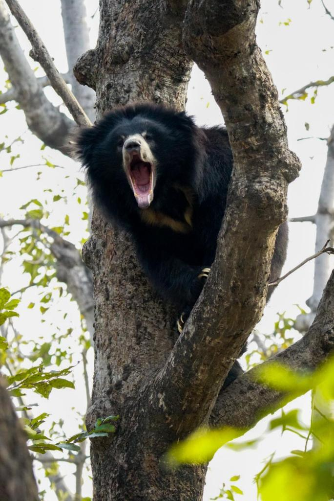 Elvis-screaming-2 Guest Post: The Sloth Bears of India's Wildlife SOS India