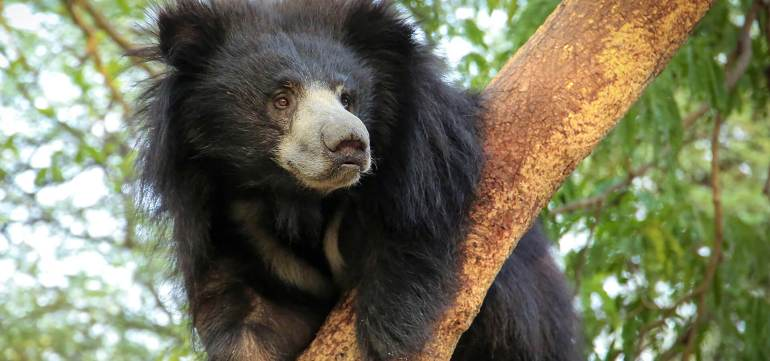 Rose-1024x480 Guest Post: The Sloth Bears of India's Wildlife SOS India
