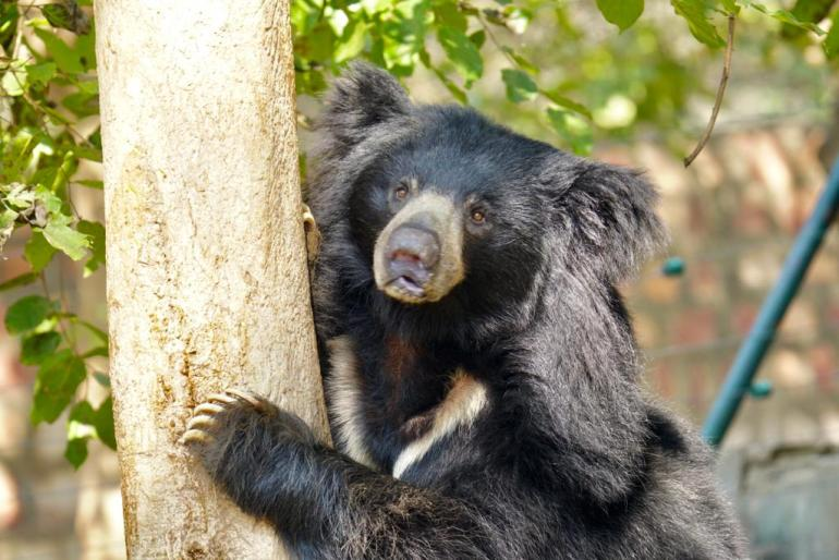 Sloth-Bear-shot Guest Post: The Sloth Bears of India's Wildlife SOS India