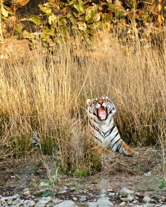 Wes-tiger-told-him-joke Guest Post: Tiger Safari in Ranthambore National Park India