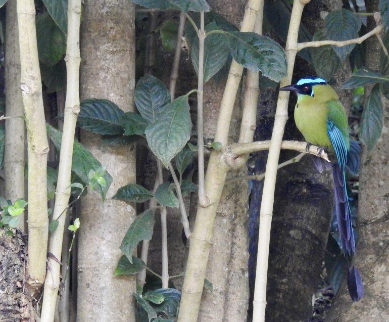 backyard birds of Colombia - Andean motmot