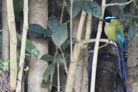 backyard birds of Colombia - Andean motmot