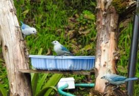 DSCN2433 Backyard Birds! Colombia The Great Outdoors