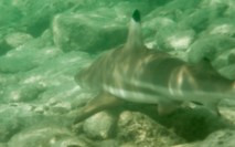 Black tipped reef shark ....harmless but they still get the heart beating when they suddenly appear right next to you!