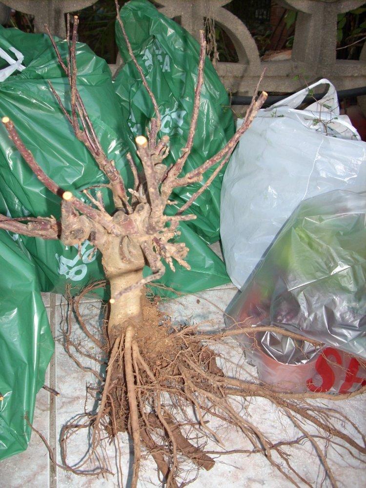 Pre-bonsái manzano