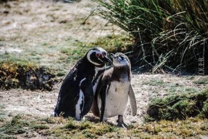 pinguinera-camarones-7144