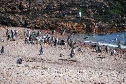 pinguinera-camarones-7232