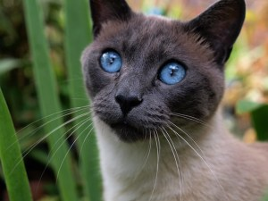 Siamese smartest cat breeds