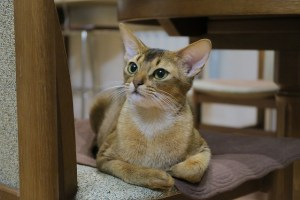 Abyssinian smartest cat breeds