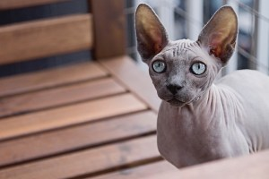 Sphynx smartest cat breeds