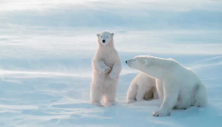 Where polar bears outnumber the locals