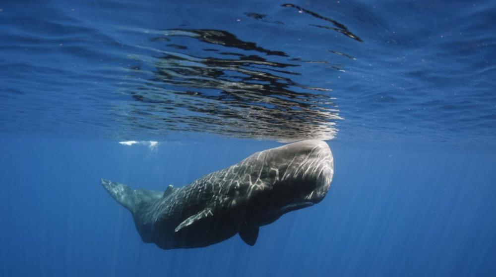 sperm-whale-1000