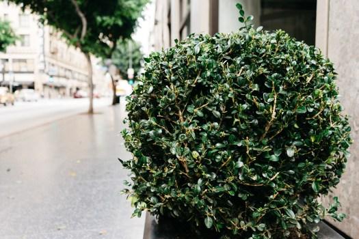 shrub