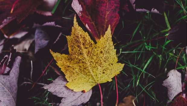 yellow leaf in a pile of purple leaves