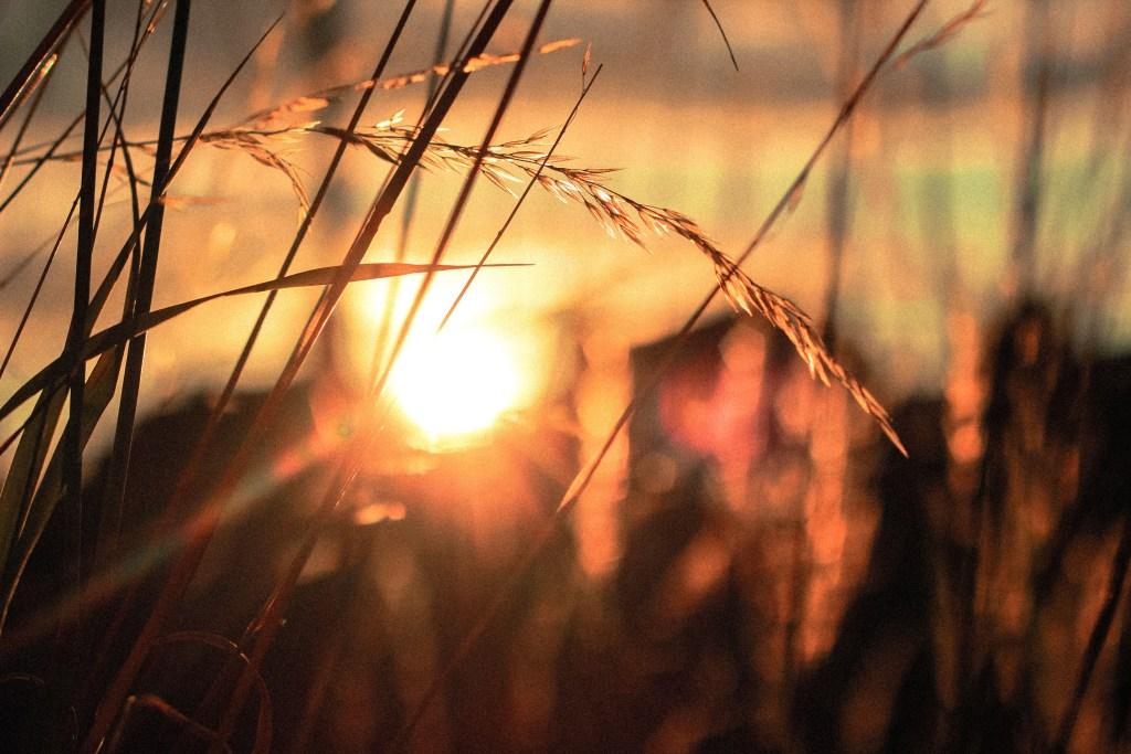 Sun shining behind blades of wheat.