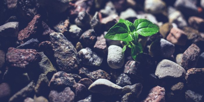 Small plant coming up through rocks