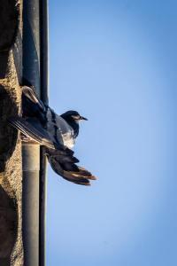 photo pigeon jb mus